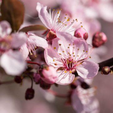 flores-cerezo-p